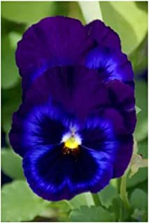 David's Garden Seeds Flower Pansy Swiss Giant Ullswater (Edible) SL6244 (Blue) 100 Non-GMO, Open Pollinated Seeds