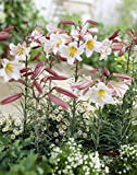 Van Zyverden 87177 Lilies Regale Set of 5 Bulbs, 16/18 cm, White with Pink