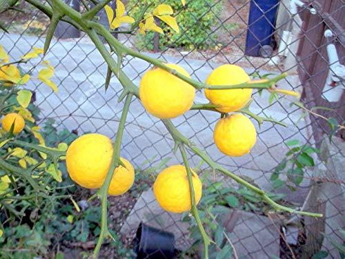 Portal Cool Hardy Orange/Poncirus Trifoliata 100 graines de résistant au froid Eu Vendeur