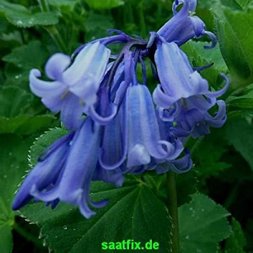 50 Blumenzwiebeln Hyacinthoides hispanica Excelsior