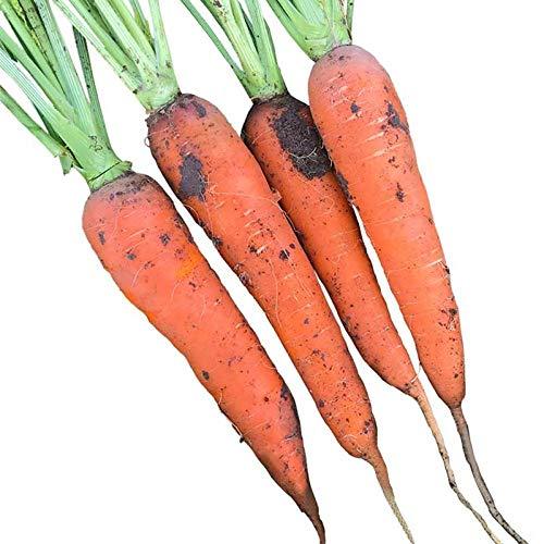 Semillas de hortalizas en macetas balcón de la familia de semillas de zanahoria de cinco pulgadas 300 tabletas