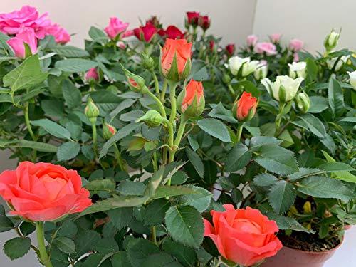 ROSAL MINI - Pack 6 Plantas + Sustrato Universal Ecológico 10 Litros -Rosal Pitimini- Flores de Jardín - Planta Viva - VIPAR GARDEN 28