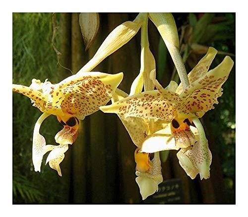 Stanhopea graveolens - orchidées - 100 graines