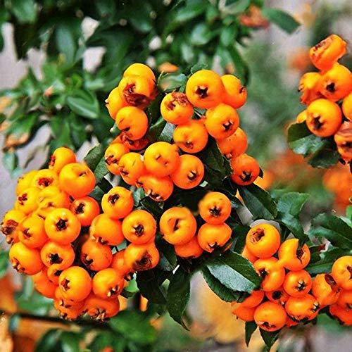 Portal Cool Semillas amarillas de Piracanta fortuneana Firethorn perennes árbol bonsai 100 piezas