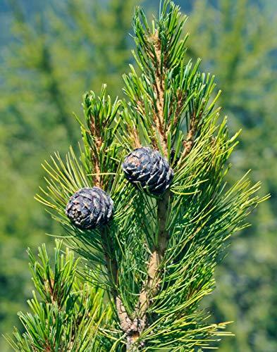 Zirbelkiefer Pinus cembra Pflanze 15-20cm Arbe Arve Zirbe Zirbel-Kiefer