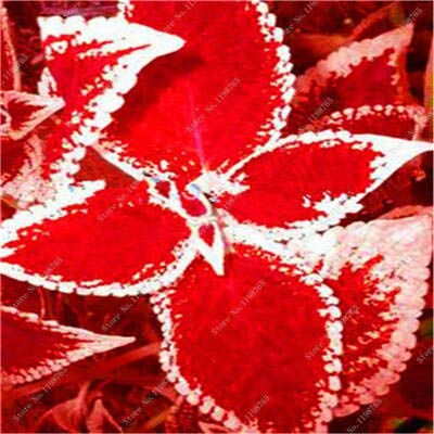 GETSO Vente Hot 100 Pcs Bonsai Arc-en-Coleus Fleur Plantes Beau Feuillage Couleur Parfaite Dragon Balcon Begonia Bonsai Facile à cultiver: 19