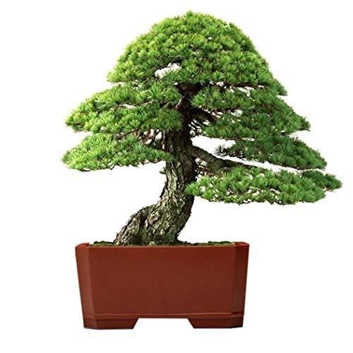 ADOLENB Garten Samen - 20 Japanische Fünf Mädchenkiefer (Pinus parviflora) Schwarzkiefer Bonsai Baum flores Topfpflanzen Japanische Bonsai Kiefer für Hausgarten