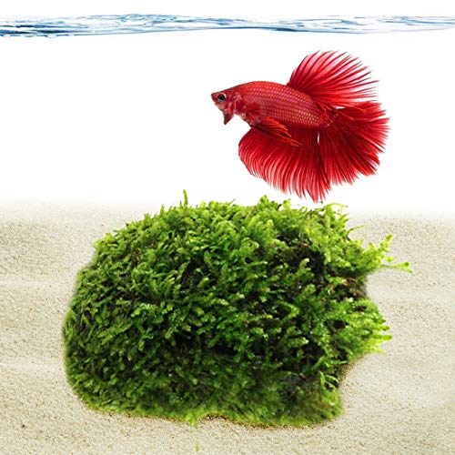 Luffy Betta Coco Mini Moss, 3x1.75 Inches, Java Moss on a Coconut Shell, Fun for Fish to Swim Around and Hide, Low Maintenance Plant on Hardy Shell, Beautiful Aquatic Decor for Betta Tank (1 Pack)