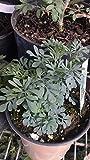 Common Rue Herb of Grace (Ruta Graveolens) Ruda 1 Live Plant