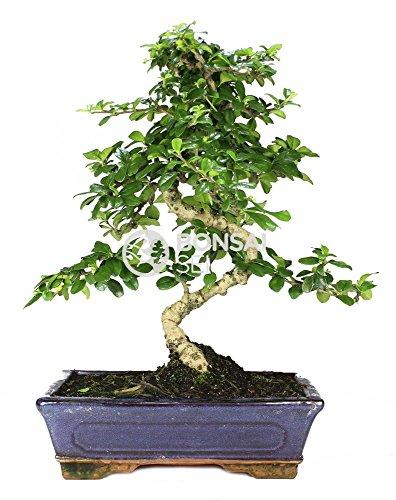 Bonsai - Carmona, 10 Años (Bonsai Sei - Carmona Microphylla)