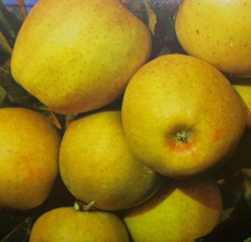 Apfelbaum Golden Delicious Apfel Golden Delicious - Malus Golden Delicious Containerware / 120-160 cm hoch,