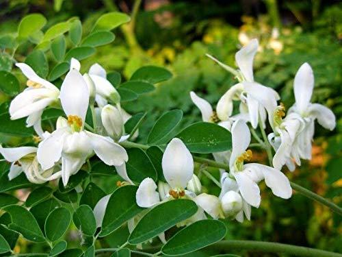 100: ? NEU !! Samen Moringa oleifera ????? schnell wachsenden DM Cholesterin seltenen Gegenstand reduzieren