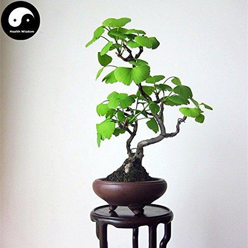 vegherb Kaufen Ginkgo Biloba Baum Samen 30Pcs Pflanze Ginkgo Yin Xing Baum für Herb Bai Guo