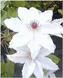 Waldrebe Clematis Miss Bateman 80-100 cm hoch im 3 Liter Pflanzcontainer -