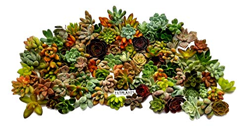 Fat Plants San Diego Miniature Rosette Succulent Cuttings (100)
