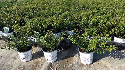 50 Stück Ilex crenata Stokes Heckenpflanze 20 cm Buchsbaum Ersatz winterhart + robust