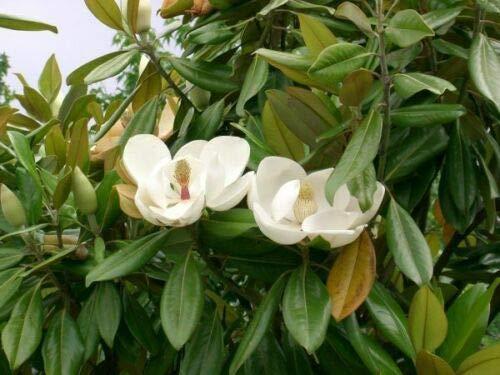 Pianta di Magnolia Grandiflora in vaso ø30 cm h.200 cm