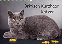 Britisch Kurzhaar Katzen (Wandkalender 2022 DIN A3 quer): BKH Katzen (Monatskalender, 14 Seiten )