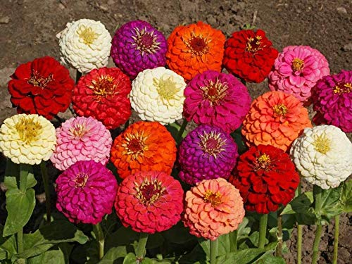 Lilliput Dwarf Zinnia Mix Seeds Many Packet Sizes Easy Grow Long Lasting Cut Flowers for Butterflies S13 (140 Seeds, or 1 Gram)