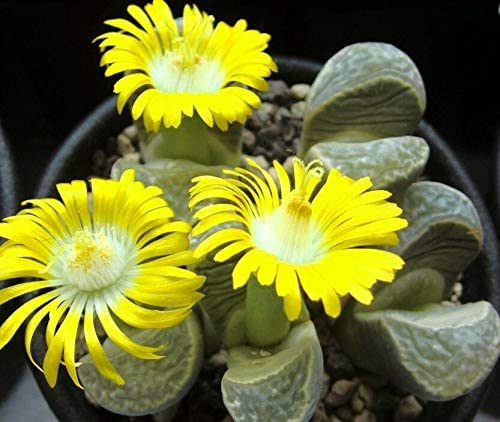 TricaStore _ LITHOPS Bombing new work HELMUTII Rare New color Living peables Stones Exotic