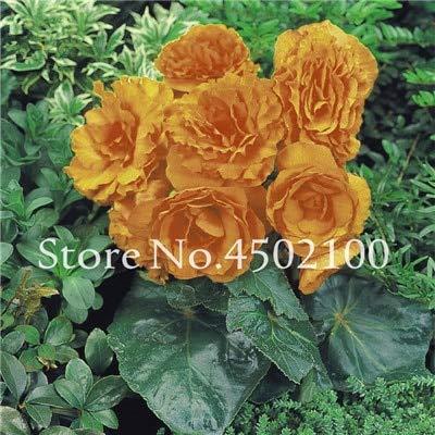 Generic Fresh 20 piezas de semillas de flores de rosas en maceta Rainbow para plantar amarillo claro