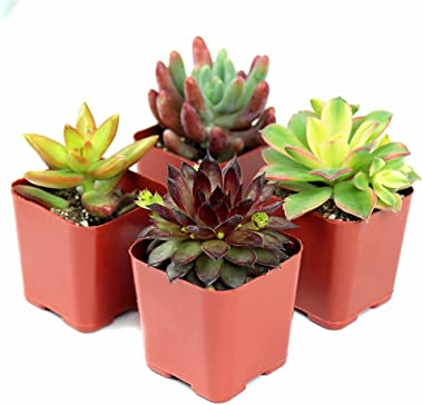 Succulent Plants, Live Succulents - Hand Selected Random Variety Pack of Mini Succulents (4 Pack)