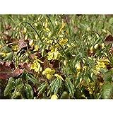 Epimedium colchicum ssp. colchicum - Schwarzmeer-Elfenblume - 9cm Topf