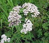 Gewöhnliche Schafgarbe - Achillea millefolium - 3000 Samen