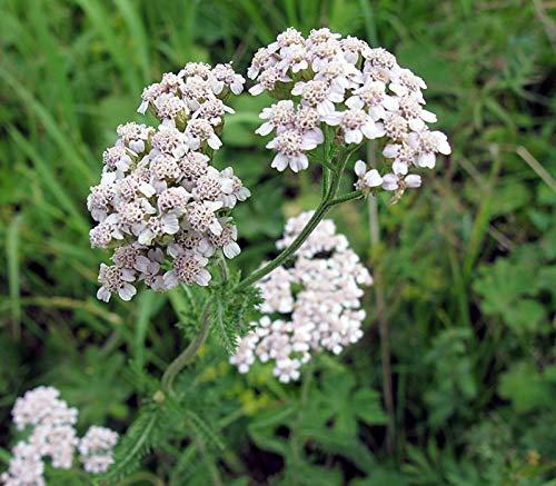 Gewöhnliche Schafgarbe - Achillea millefolium - 6000 Samen