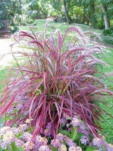 Lampenputzergras 10 Samen (Pennisetum)