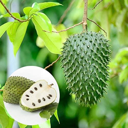 Tomasa Gartensamen- Grün Annona Samen Selten Guanabana Samen Graviola Samen Obst Pflanzensamen bonsai exotische Samen winterhart mehrjährig Pflanzen Saatgut