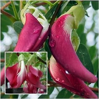 Red Sesbania grandiflora 20 Seeds, Agasta, Sesban, Vegetable Humming Bird, Rare