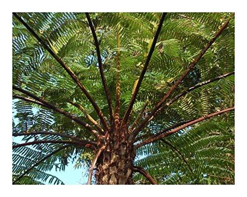 Cyathea schiedeana - fougère arborescente - 10 graines