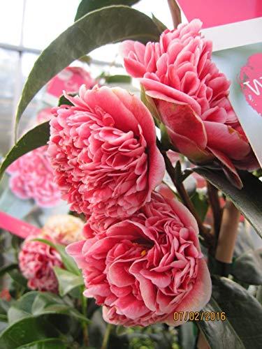 Japanische Kamelie Volunteer - Camellia japonica Volunteer