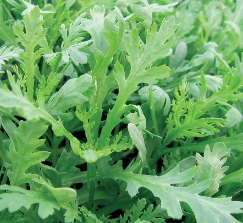 Salatchrysantheme - Chopsuey Greens - Shungiku - Salat - 200 Samen