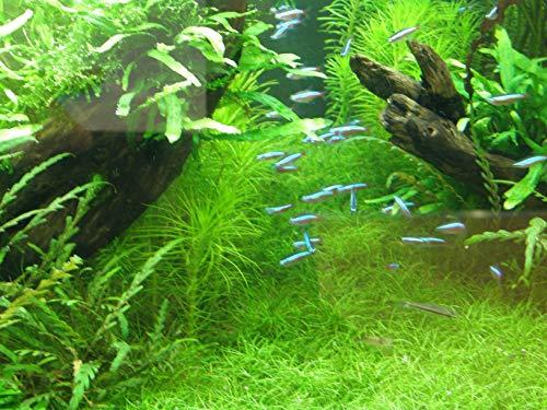 Mühlan - Wasserpflanzensortiment Aquariumwiese, ausschließlich kleinbleibende Vordergrundpflanzen inkl. Dünger