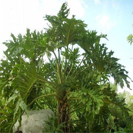 Förderung! 100pcs / bag Rare Chinese Philodendron Seeds 20 verschiedene Bonsai-Baum-Samen Garten neue Pflanzen Anti-Radiation