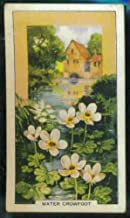 Water Crowfoot 1939 Gallaher Cigarettes Wild Flowers #48 (VG) light crease