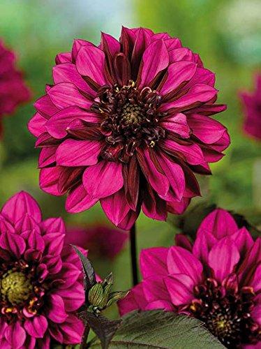 Lemo Gartendesign Anemonenblütige Dahlie `Purple Haze` (Dahlia Anemonenblütig `Purple Haze`, 1 Stück)
