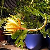 Wekold Selenicereus Anthonyanus Mexiko-Kaktus 10 Samen Sukkulenten Seidenblume -