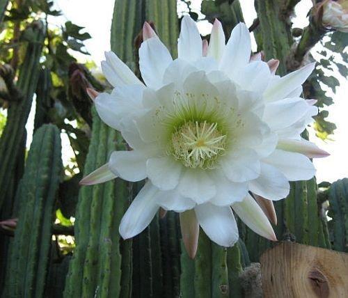 Trichocereus pachanoi - San-Pedro Kaktus - 20 Samen