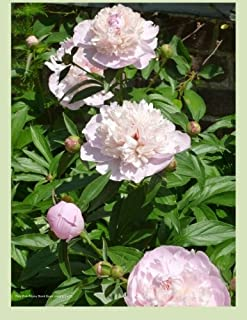 Pale Pink Peony Blank Book Lined 8.5 X 11: 8.5 by 11 inch 100 page lined blank book suitable as a journal, notebook or dia...