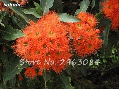 Vente! 100 pcs/sac rares Eucalyptus Graines géant Arbre tropical Graines Angiosperme pour jardin plantation en plein air Bonsai cadeau 17