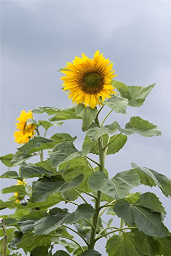 Flower – Tournesol géant de Mongolie – 25 graines – jusqu'à 3,8 m de haut
