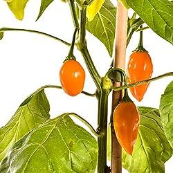 Pepperworld Jamy Chili-Saatgut, 10 Korn, Chili-Schote zum Anpflanzen, sehr-scharf
