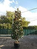 Pianta di Magnolia Grandiflora Gallisoniensis in mastello ø45 cm h.125 cm