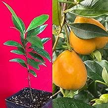 PITOMBA Eugenia Luschnathiana Pot Starter Plant Fruit Starter Tree Potted 4-6