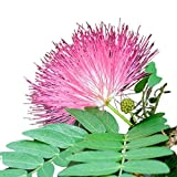 MABES WAREHOUSE Mimosa Tree (30 Seeds)