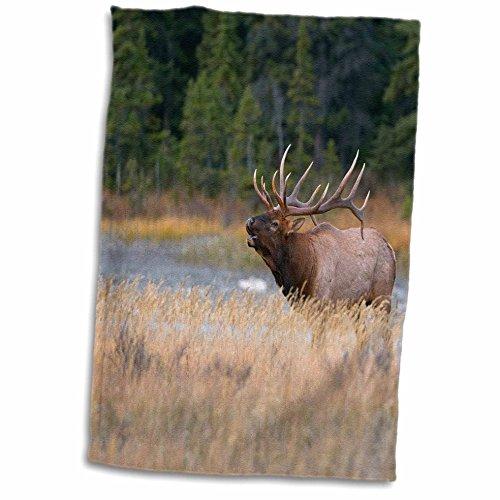 3D Rose Kanada Alberta. Rocky Mountain Elch Bugles bei Fallrut Jasper NP. TWL_206386_1 Handtuch, 38,1 x 55,9 cm
