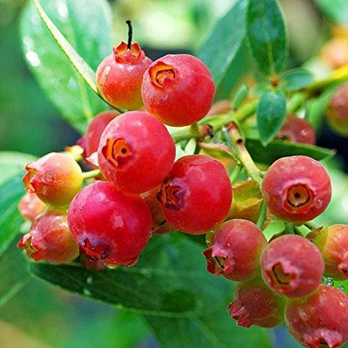 PINKE struik bosbessen - Vaccinium corymbosum pink lemonade - 60-80 cm 2 ltr. pot.